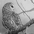 Barred Owl by Tim Dangaran