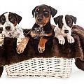 Basket Of Rottweiler Mixed Breed Puppies by Susan  Schmitz