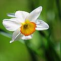 Beautiful Daffodil by Jenny Rainbow