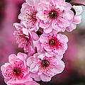 Beautiful Pink Blossoms by Robert Bales