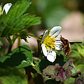 Bee Fly On White Flowers by Christina Rollo
