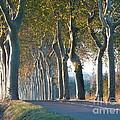 Beloved Plane Trees by France  Art