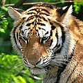 Bengal Tiger Portrait by Dan Sproul