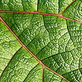 Big Green Leaf 5d22460 by Wingsdomain Art and Photography
