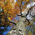 Big Orange Maple Tree by Christina Rollo
