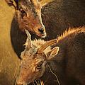 Bighorn Sheep Of The Arkansas River  by Priscilla Burgers