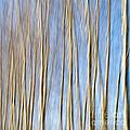 Birch Trees by Stelios Kleanthous