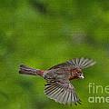 Bird Soaring With Food In Beak by Dan Friend