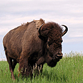 Bison On The Prairie by Olivier Le Queinec