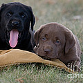 Black And Chocolate Labradors Print by Linda Freshwaters Arndt