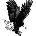Black And White With Pen And Ink Drawing Of American Bald Eagle  by Mario Perez