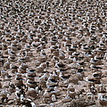 Black-browed Albatross Nesting Colony by Art Wolfe