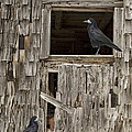 Black crows at the old barn Print by Edward Fielding