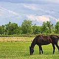 Black Horse in Montana Pasture