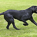Black Labrador Playing by Johan De Meester