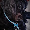Black Labrador Retriever drawing
