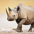 Black Rhinoceros by Johan Swanepoel