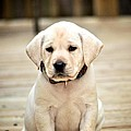 Blond Lab Pup by Kristina Deane