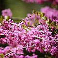 Blooming Redbud Tree Cercis Canadensis by Rebecca Sherman