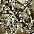 Blossoms by Frank Tschakert