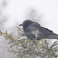 Blowin' In The Wind - Crow by Sandra Updyke