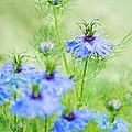 Blue Flowers by Diana Kraleva