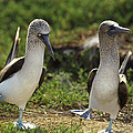 Blue-footed Booby Pair In Courtship by Tui De Roy