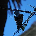 Blue Grapes by Dany Lison