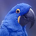 Blue Hyacinth Macaw - Anodorhynchus hyacinthinus - Puohokamoa Hoolawa Maui Hawaii