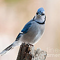 Blue Jay Sitting on Stump