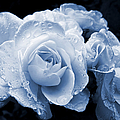 Blue Roses With Raindrops by Jennie Marie Schell