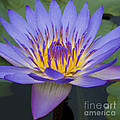 Blue Water Lily - Nymphaea by Heiko Koehrer-Wagner