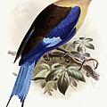 Bluebellied Roller by Johan Gerard Keulemans