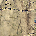 Bluebird And Sparrow by Heather Applegate