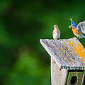 Bluebirds Hunting fo...
