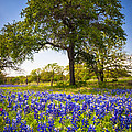 Bluebonnet Meadow by Inge Johnsson