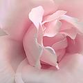 Blushing Pink Rose Flower