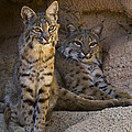 Bobcat 8 by Arterra Picture Library