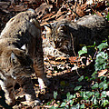 Bobcat Couple Print by Eva Thomas