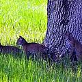 Bobcat Cubs by Diana Berkofsky