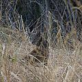 Bobcat Kitten In The Underbrush by Scott Lenhart