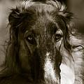 Borzoi Hound Portrait by Christian Lagereek