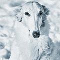 Borzoi Russian Hound Portrait by Christian Lagereek