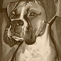Boxer Dog Sepia Print by Robyn Saunders