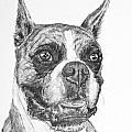 Boxer Dog Sketch by Kate Sumners