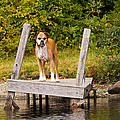 Boxer On Lake Dock by Stephanie McDowell
