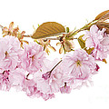 Branch With Cherry Blossoms by Elena Elisseeva