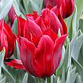 Brilliant Red Tulips In The Garden by Jennie Marie Schell