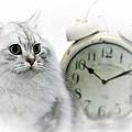 British Longhair Cat Time Goes By II by Melanie Viola