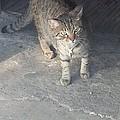 Bronx Kitten